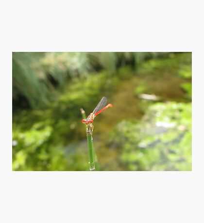 Damselfly ~ Desert Firetail (Male) Photographic Print