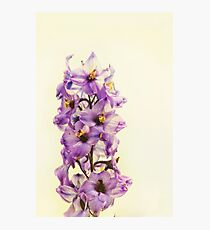 Purple Larkspur Delphinium Photographic Print