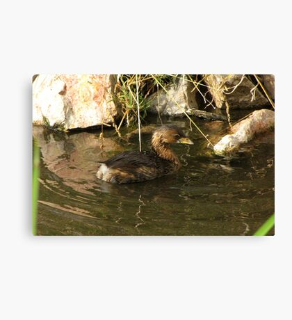Pied-billed Grebe ~ Nonbreeding Adult Canvas Print
