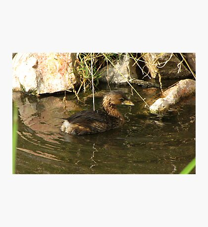 Pied-billed Grebe ~ Nonbreeding Adult Photographic Print