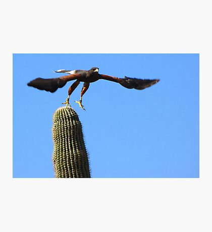 Harris's Hawk ~ Away I Go! Photographic Print