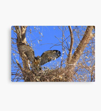 Red-tailed Hawk ~ Babies XII Canvas Print