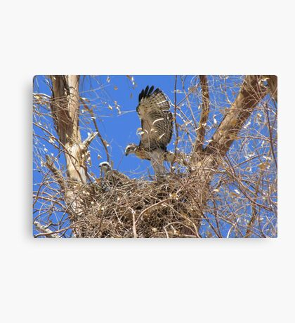 Red-tailed Hawk ~ Babies IX Canvas Print