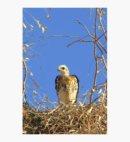 Red-tailed Hawk ~ Babies VII Photographic Print