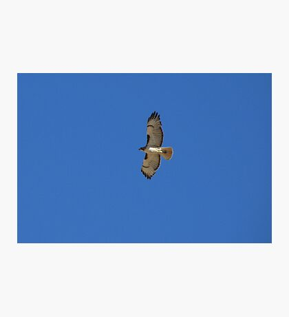 Red-tailed Hawk ~ Father Photographic Print