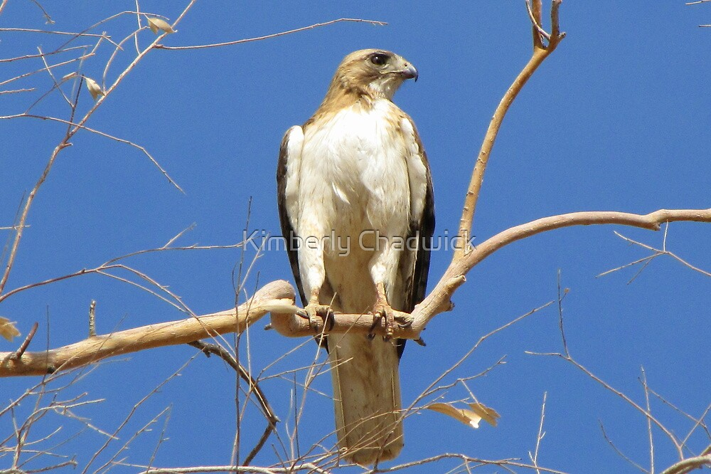 Red-tailed Hawk (Light Morph) ~ Proud Parent by Kimberly Chadwick