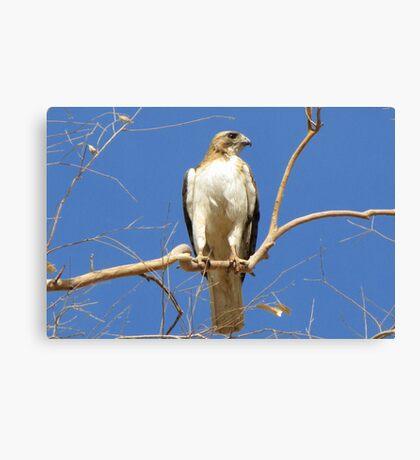 Red-tailed Hawk (Light Morph) ~ Proud Parent Canvas Print