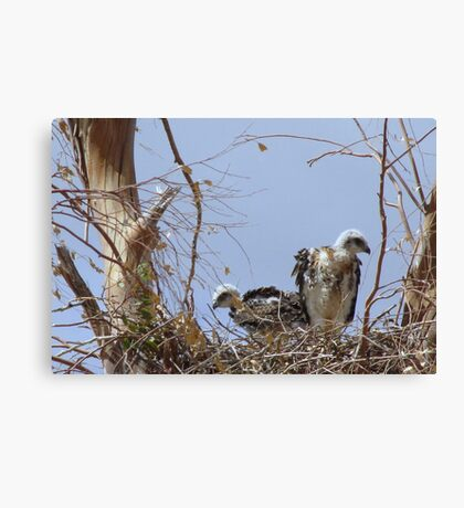 Red-tailed Hawks ~ Babies V Canvas Print
