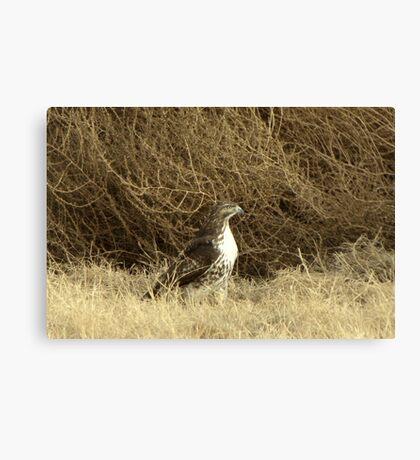 Red-tailed Hawk ~ Sitting Still Canvas Print