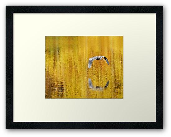 Blue Heron on golden pond by woodnimages