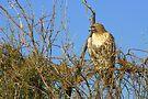 Red-tailed Hawk ~ Watching by Kimberly Chadwick