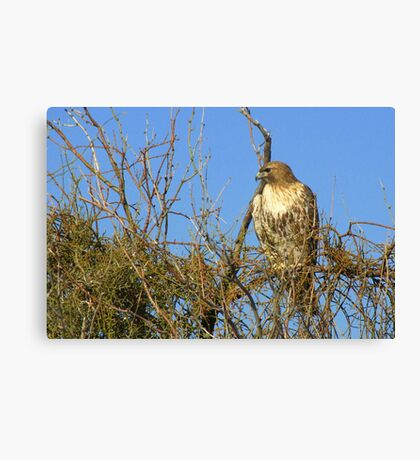 Red-tailed Hawk ~ Watching Canvas Print