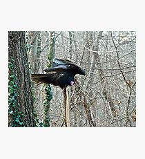 Turkey Vulture - Cathartes aura Photographic Print