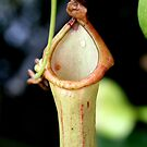 Pitcher Plant by Trish Peach