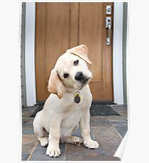 Inquisitive Yellow Lab Puppy Poster
