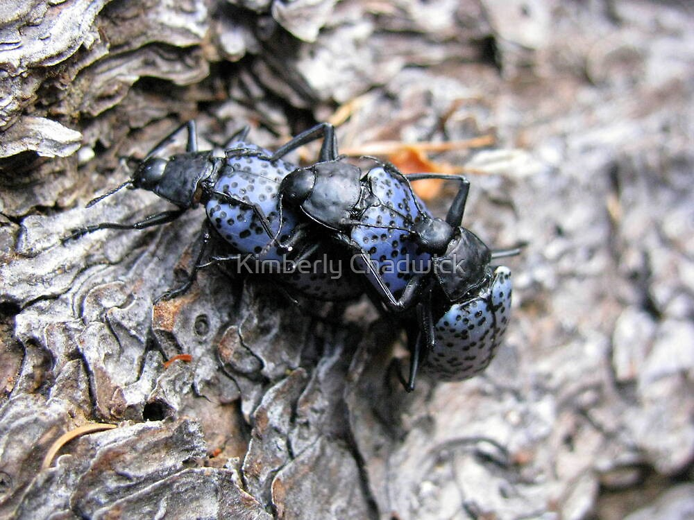 Pleasing Fungus Beetles ~ Gibbifer californicus by Kimberly Chadwick