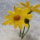 Daisy in Snow by Izzzy