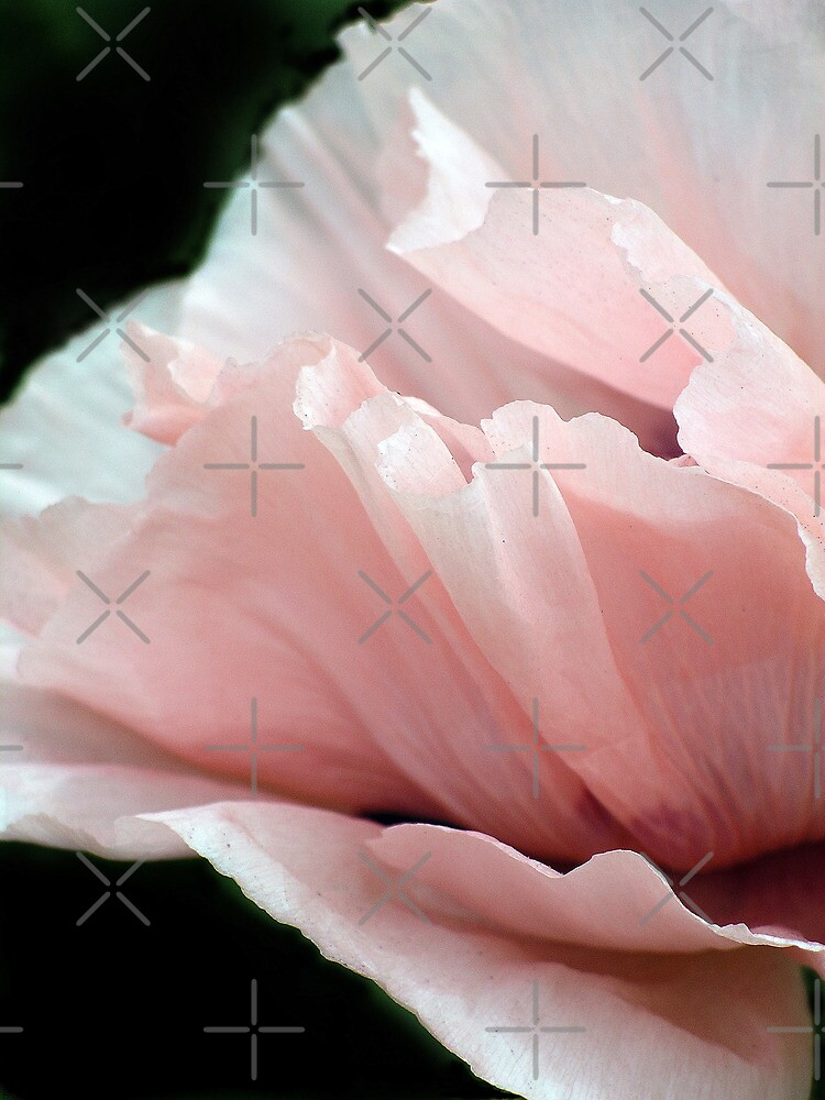 Pink Poppy by Catherine Hamilton-Veal  ©