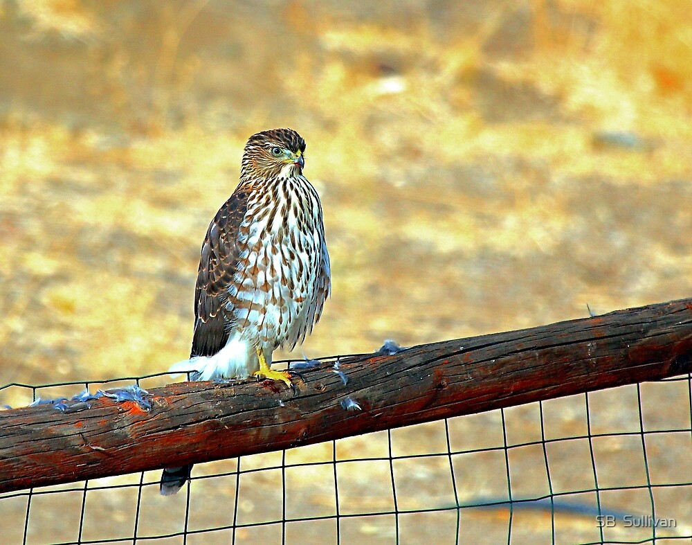 Desert Prarie Falcon  by SB  Sullivan