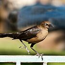 Great Tailed Grackle by barnsis