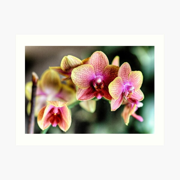 Orchids in Pink and Yellow Art Print
