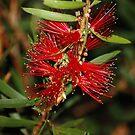 Red Bottlebrush flower by cathywillett