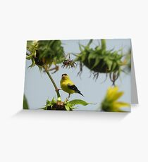 Goldfinch gets the sunflower seed. Greeting Card