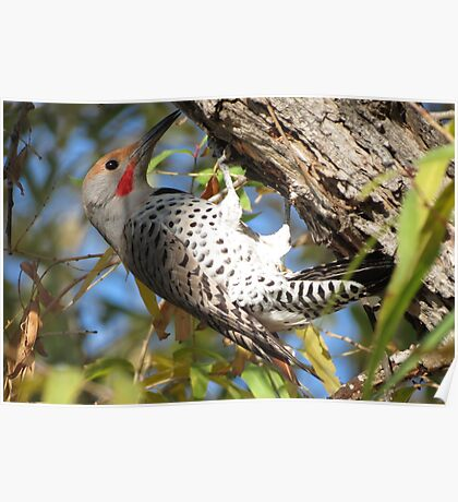 Red-shafted Flicker (Western Northern Flicker) Poster