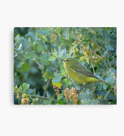 Orange-Crowned Warbler ~ Sea of Green Canvas Print