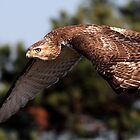 On The Offensive / Red Tail Hawk by Gary Fairhead