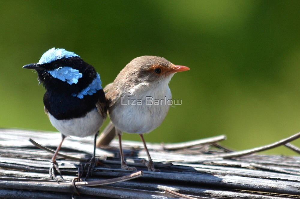 ♥Fairy-Wrens♥ by Liza Barlow
