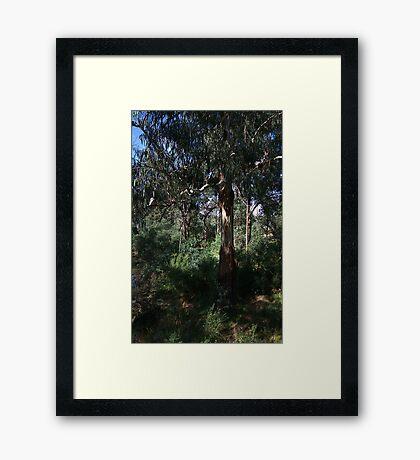 Kookaburra Sits Framed Print