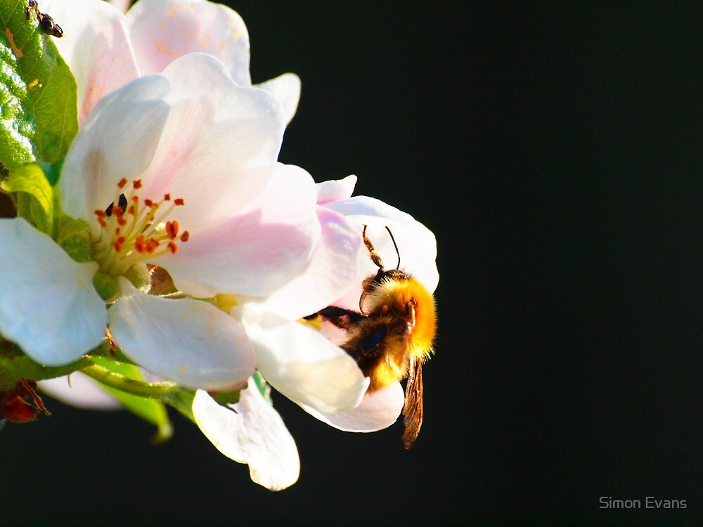 Laidback Bee by Simon Evans