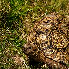 Tortoise by Epicurian