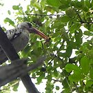 Hornbill with insect caught on the wing by Eileen O'Rourke
