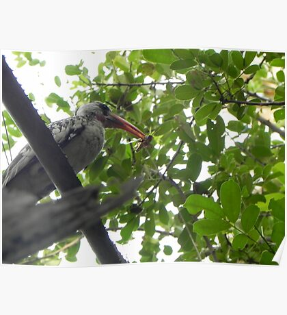 Hornbill with insect caught on the wing Poster