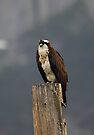Osprey by Vickie Emms
