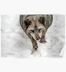 Fox Pup Poster
