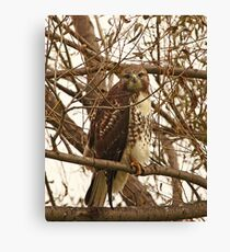 Red-Tailed Hawk Looking Right at Me Canvas Print