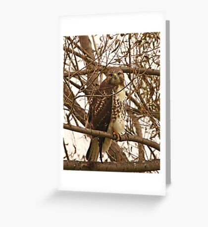 Red-Tailed Hawk Looking Right at Me Greeting Card