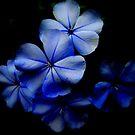 Blue on Black by Debbie Robbins