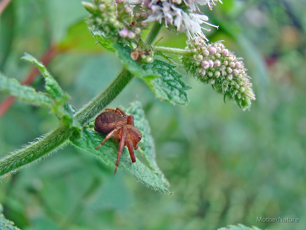 Crab Spider on Mint by MotherNature