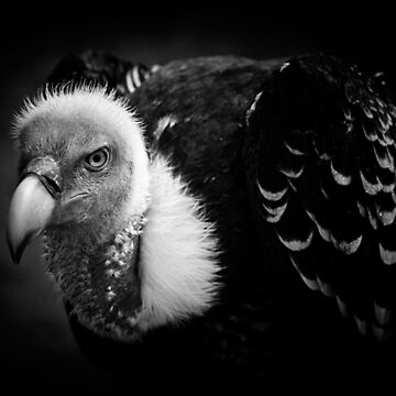 Rueppell's Vulture: After a shower (black version) by Lenka