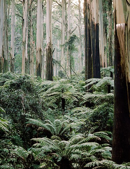 Mountain Ash and Tree Ferns, Sherbrooke Forest. by Alex Fricke