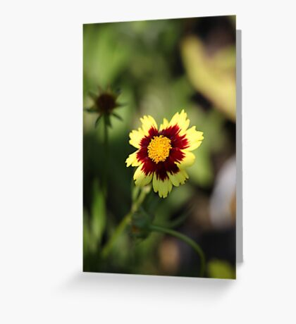 Calliopsis 6775 Greeting Card