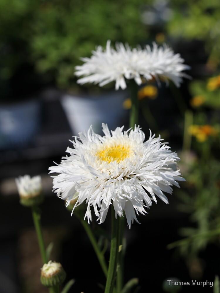 Chrysanthemum 6777 by Thomas Murphy