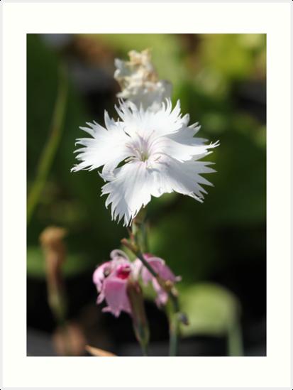 Carnation 6788 by Thomas Murphy