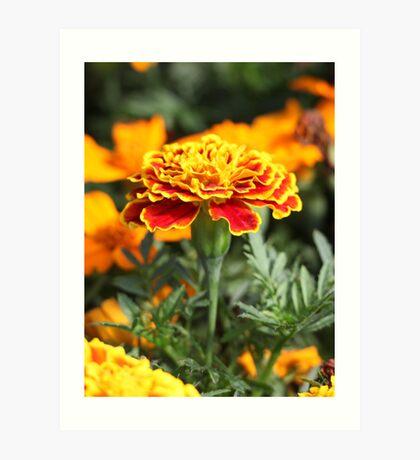 Marigold  Flower 7109 Art Print