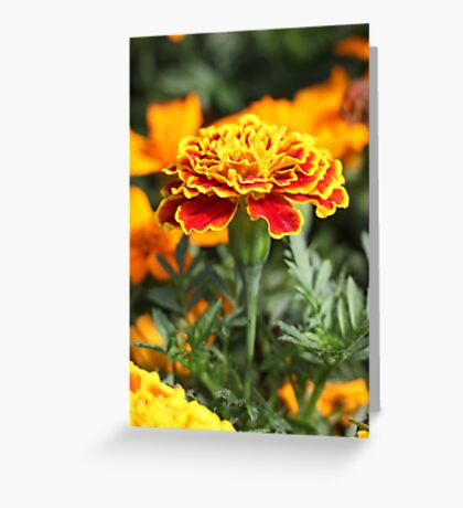 Marigold  Flower 7109 Greeting Card