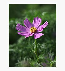 Cosmos 7150 Photographic Print